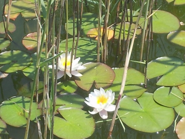Water lilies-photos