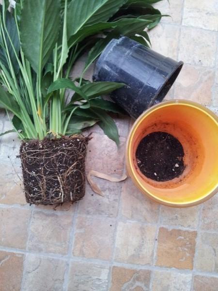 Spathiphyllum-repotting