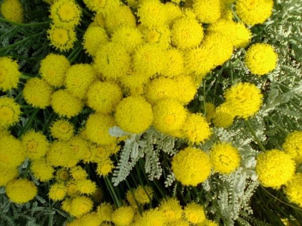 Santolina-flowers