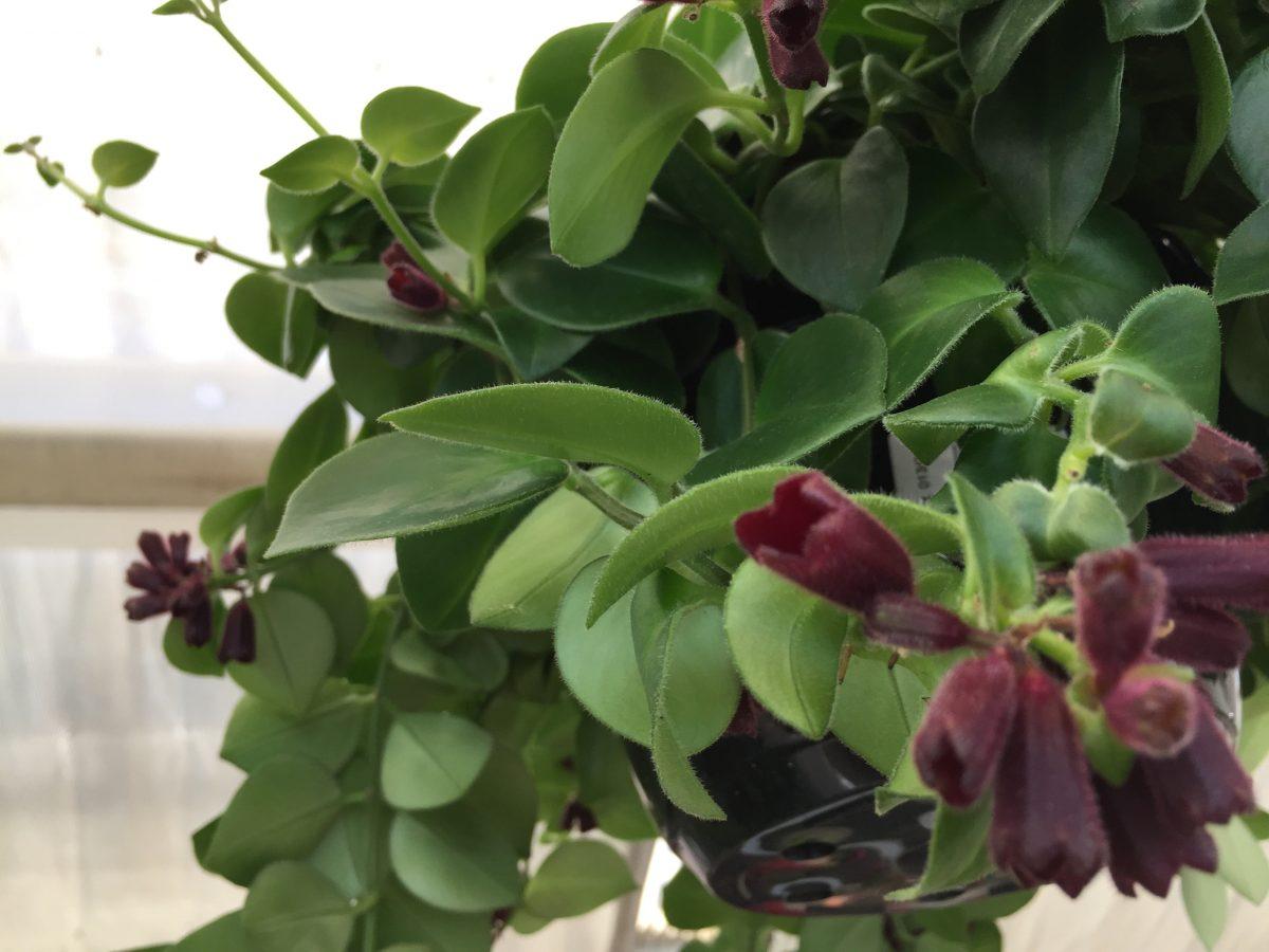 Columnea-gloriosa-leaves-flowers