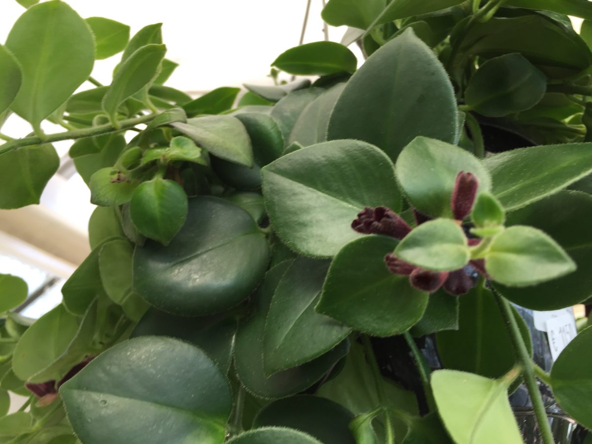 Columnea-leaves