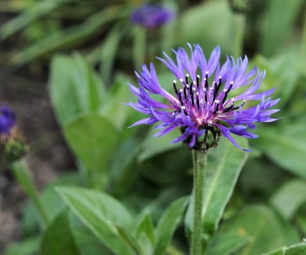 Centaurea-cinus