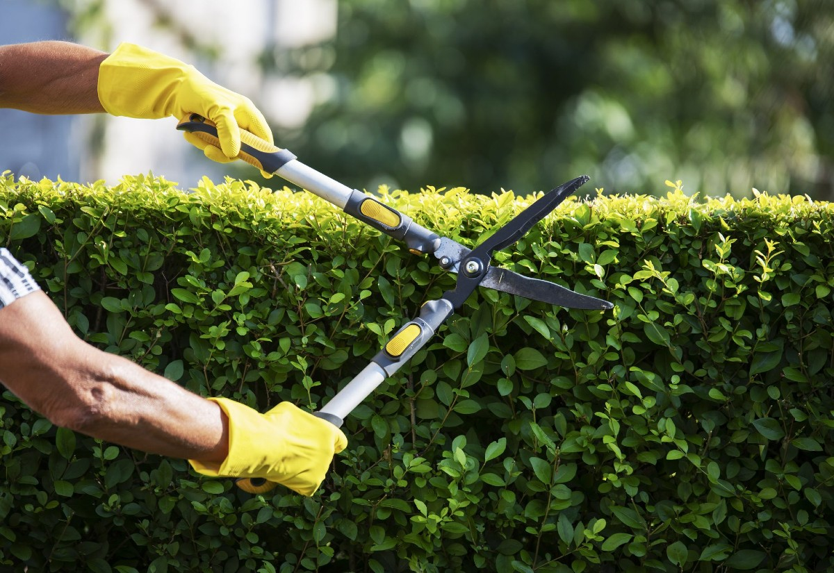 How to choose the best hedges for the garden 3