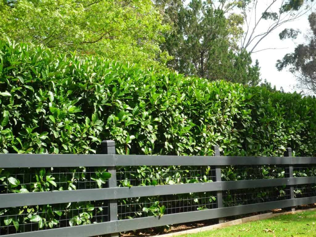 How to choose the best hedges for the garden 4