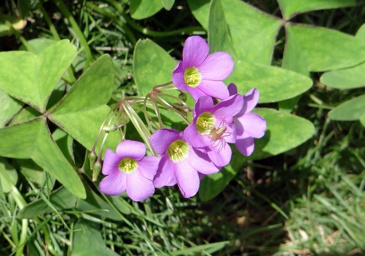 Oxalis-flowers