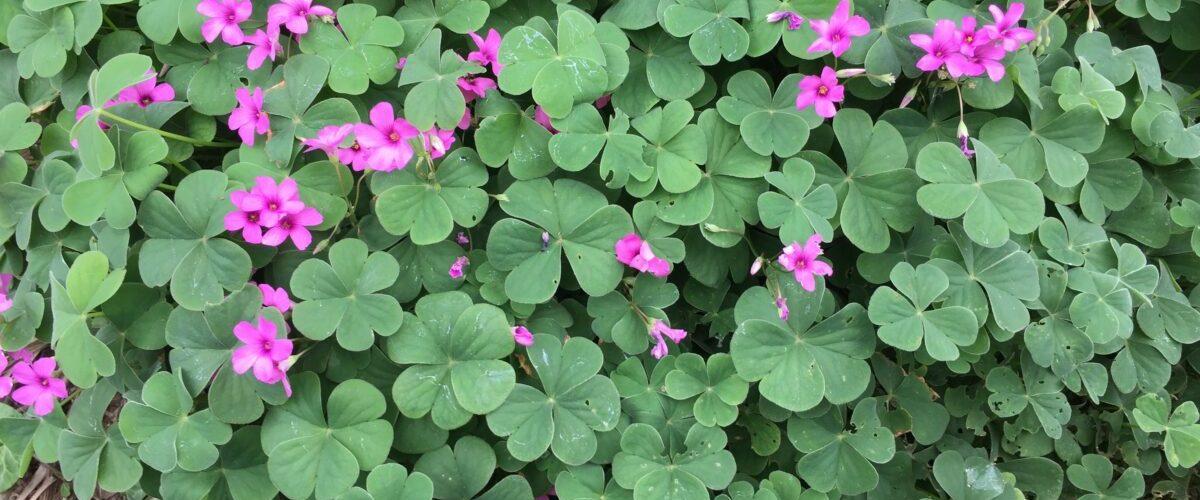 Acetosella rosa-Oxalis acetosella