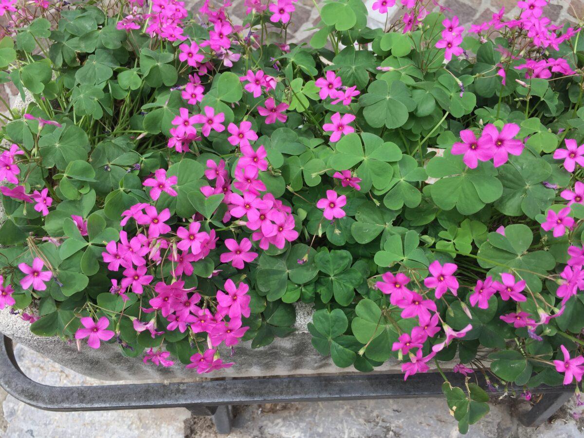 Pink-repotting sorrel
