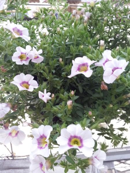 calibrachoa-petunia-nana-cultivation