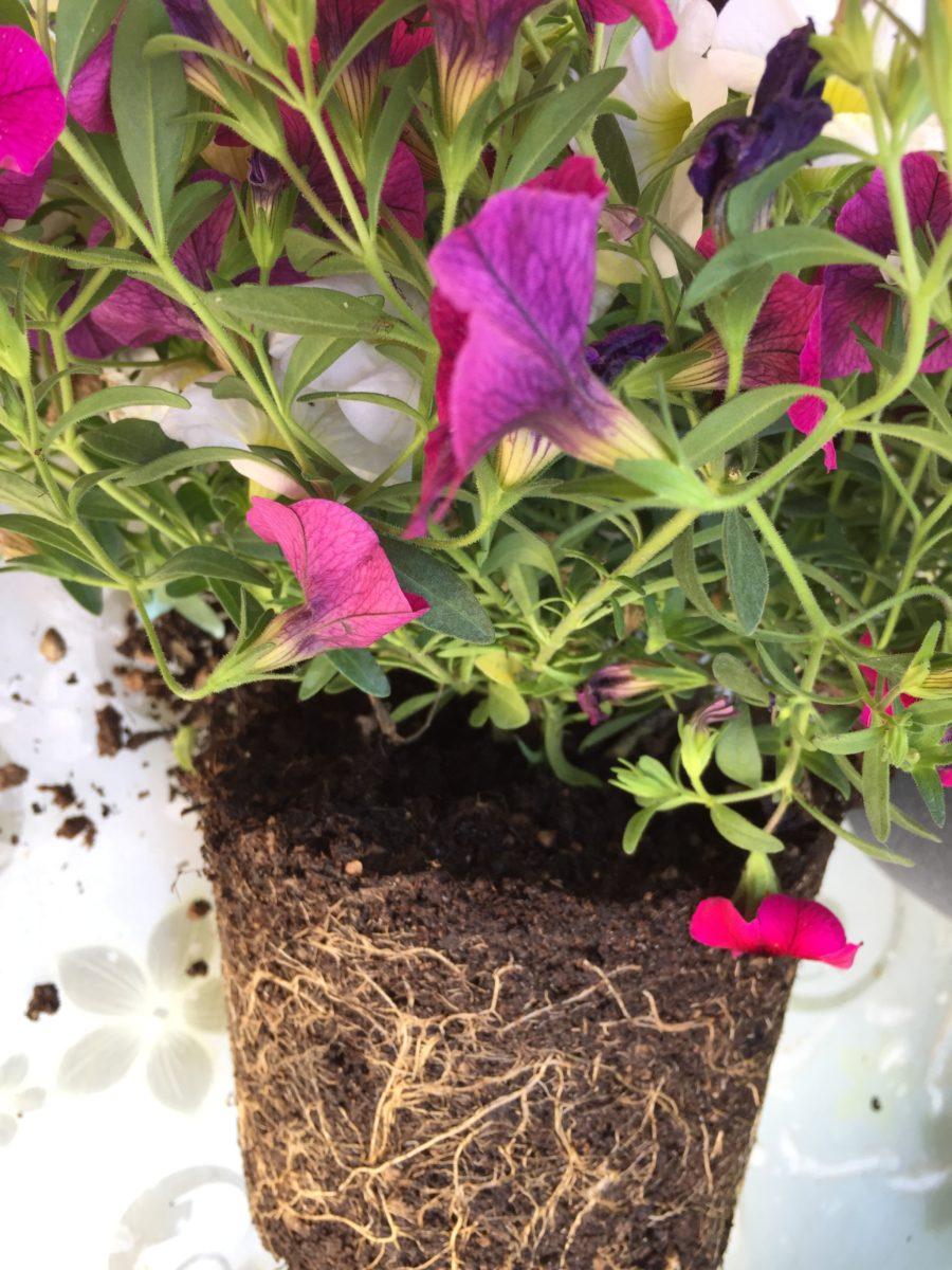 Calibrachoa-repotting