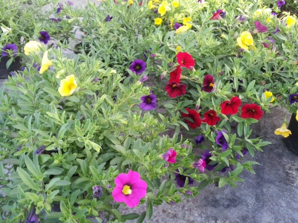 calibrachoa-petunia-nana-coltivazione