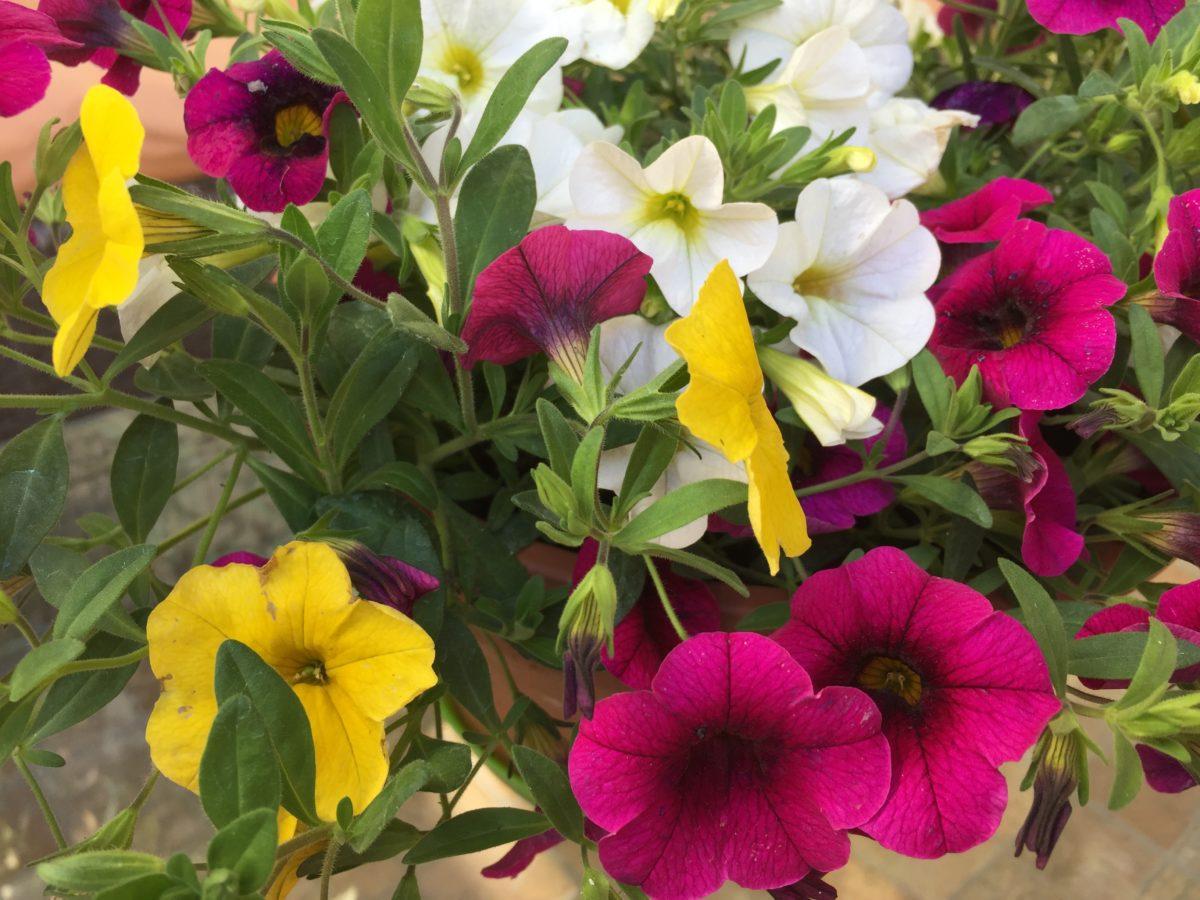 Calibrachoa-petunia