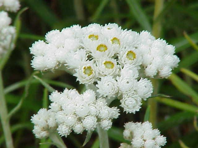 Anaphalis- flowers