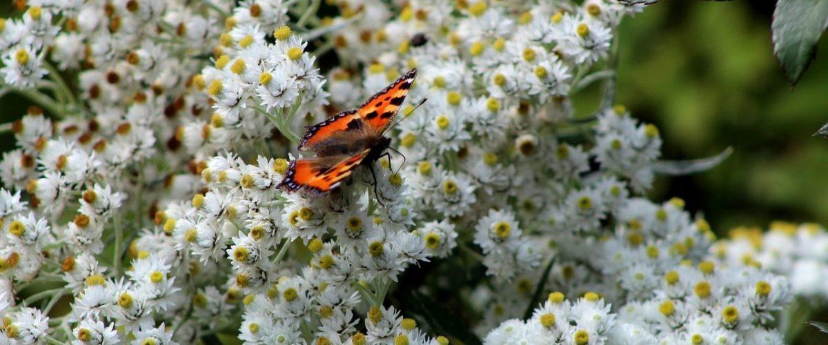 Anaphalis-margaritacea