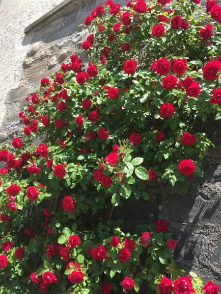 Rose hips-roses