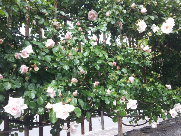 climbing-roses-uses