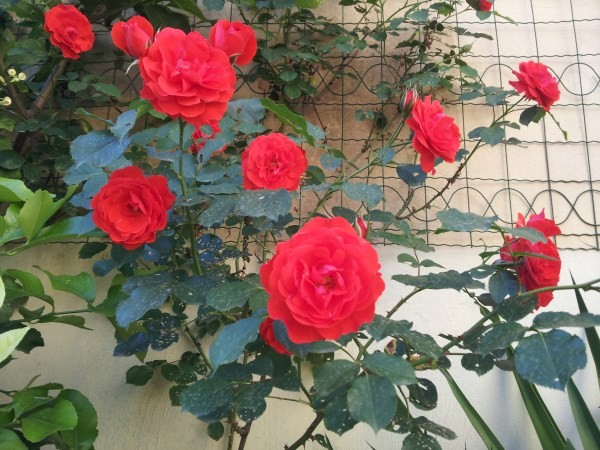 parasites-roses