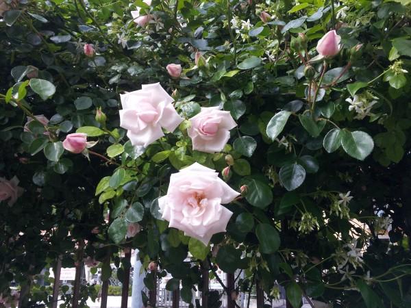 climbing-roses-plant