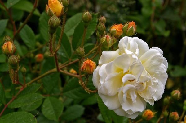 Rose-climbing-pruning