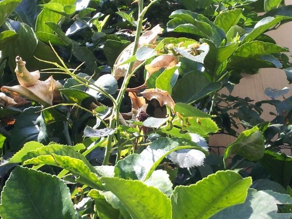 Argidae-larvae-roses