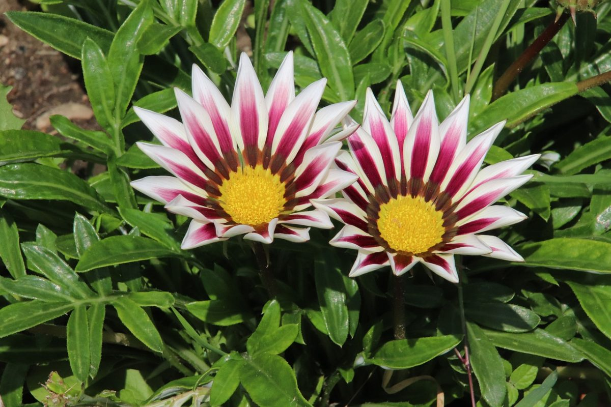 Gazanie-plant