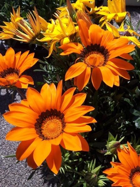 gazanie-flowers-uses