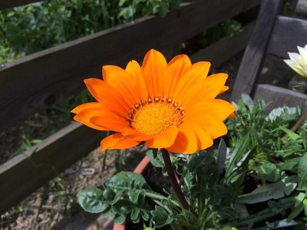gazania-leaves-flower