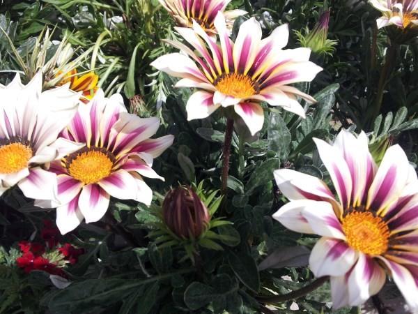 Gazania-flowers-mottled