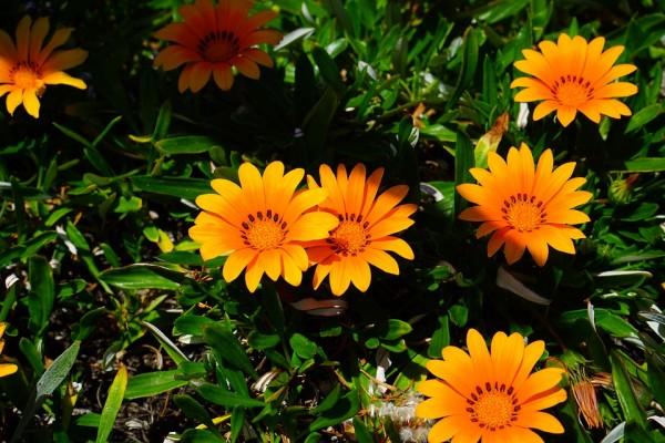 gazania-language-flowers