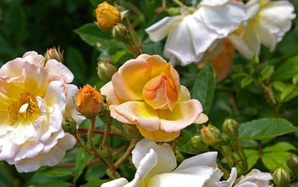 Climbing-roses-photos
