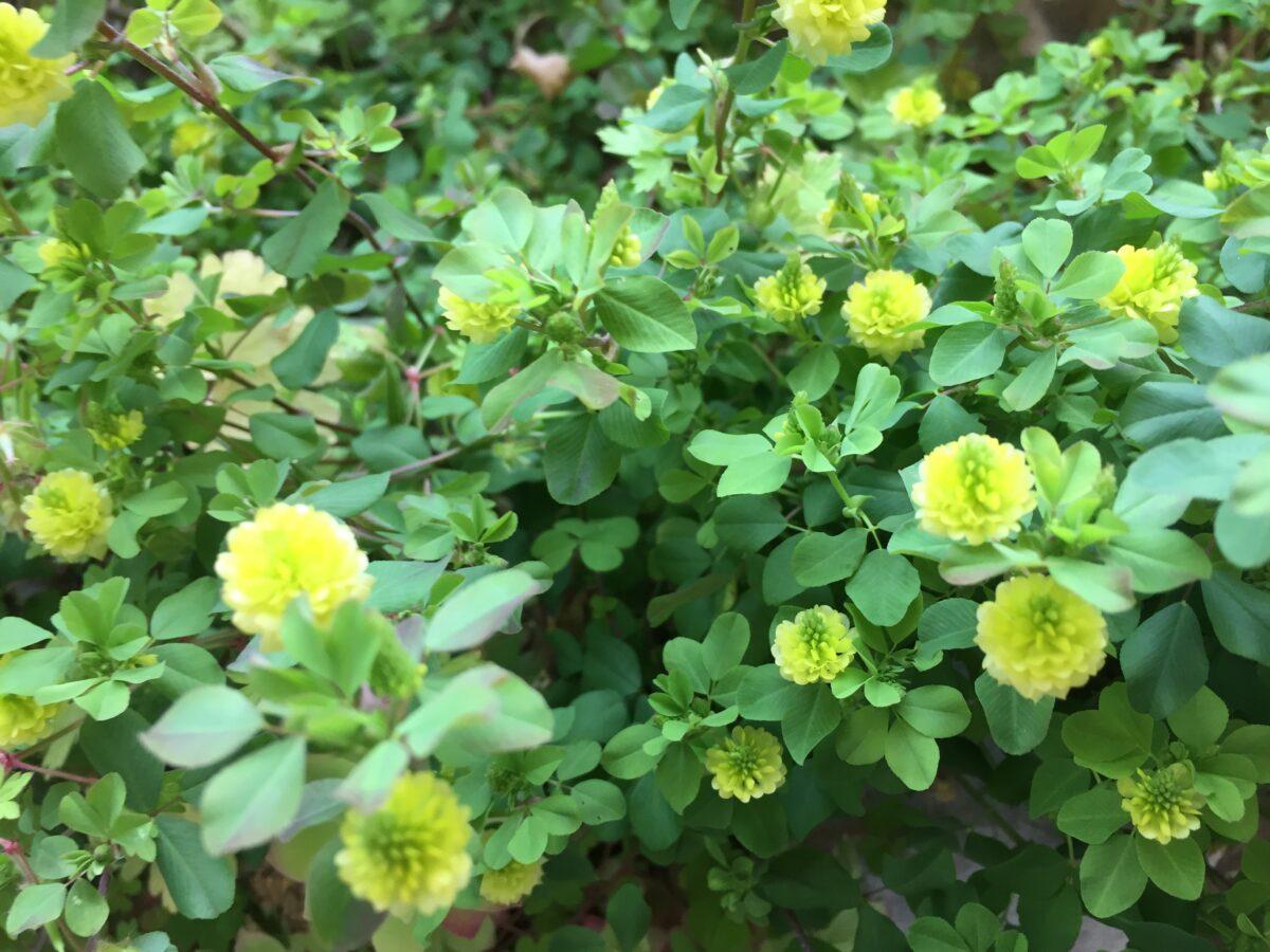 Field clover- hop clover
