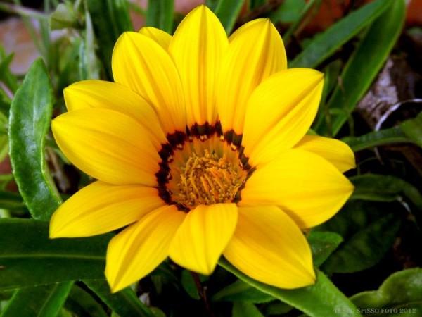 Gazania-flower