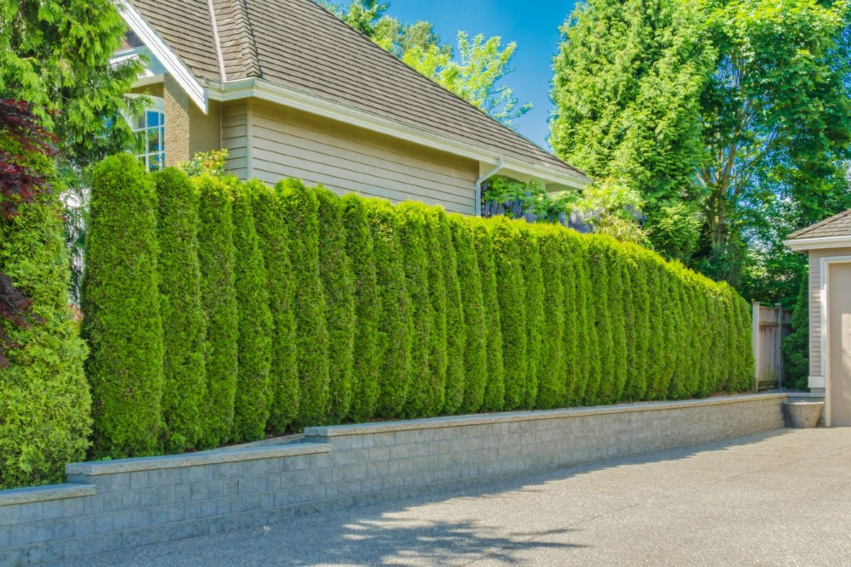 How to choose the best hedges for the garden 1