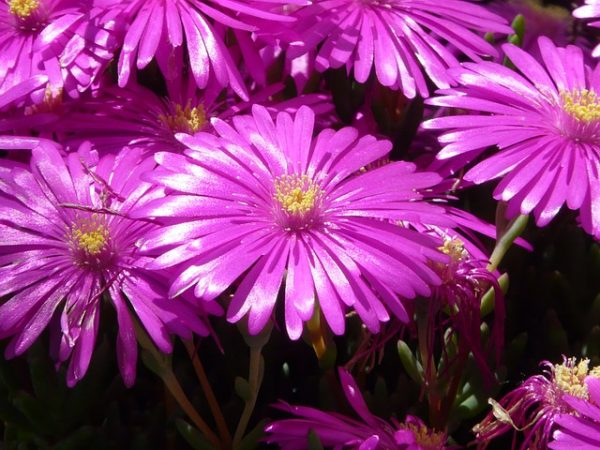 Mesembranthemum-flowers