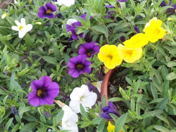 petunia-dwarf-calibrachoa