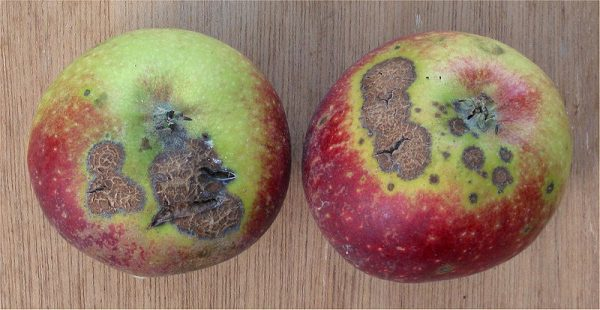 scab-of-apple-venturia