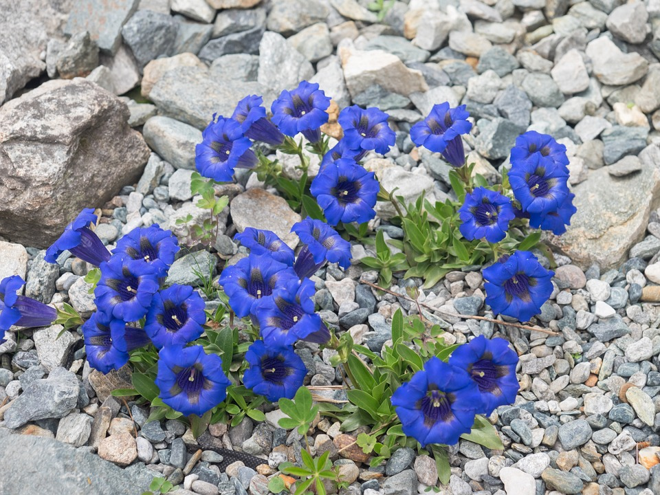 Gentian-cultivation