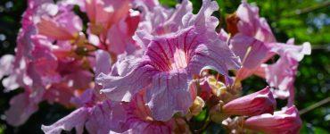 Podranea-fiori