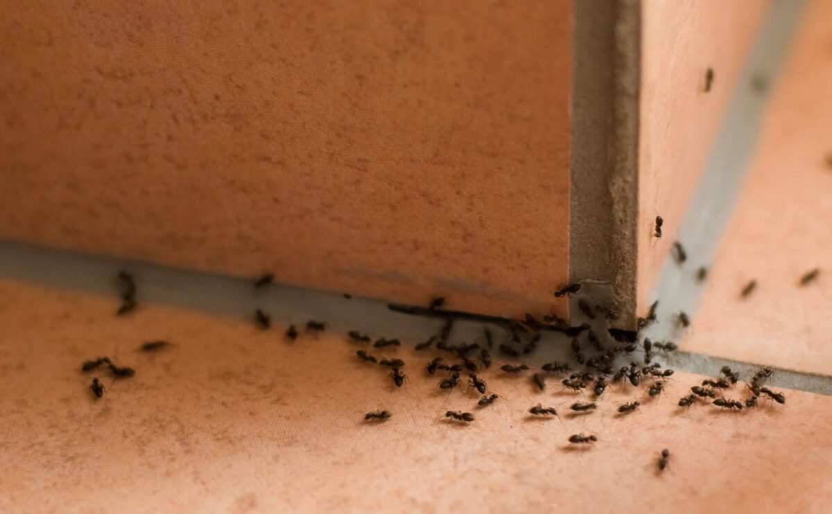 how-to-eliminate-ants-on-balcony-causes