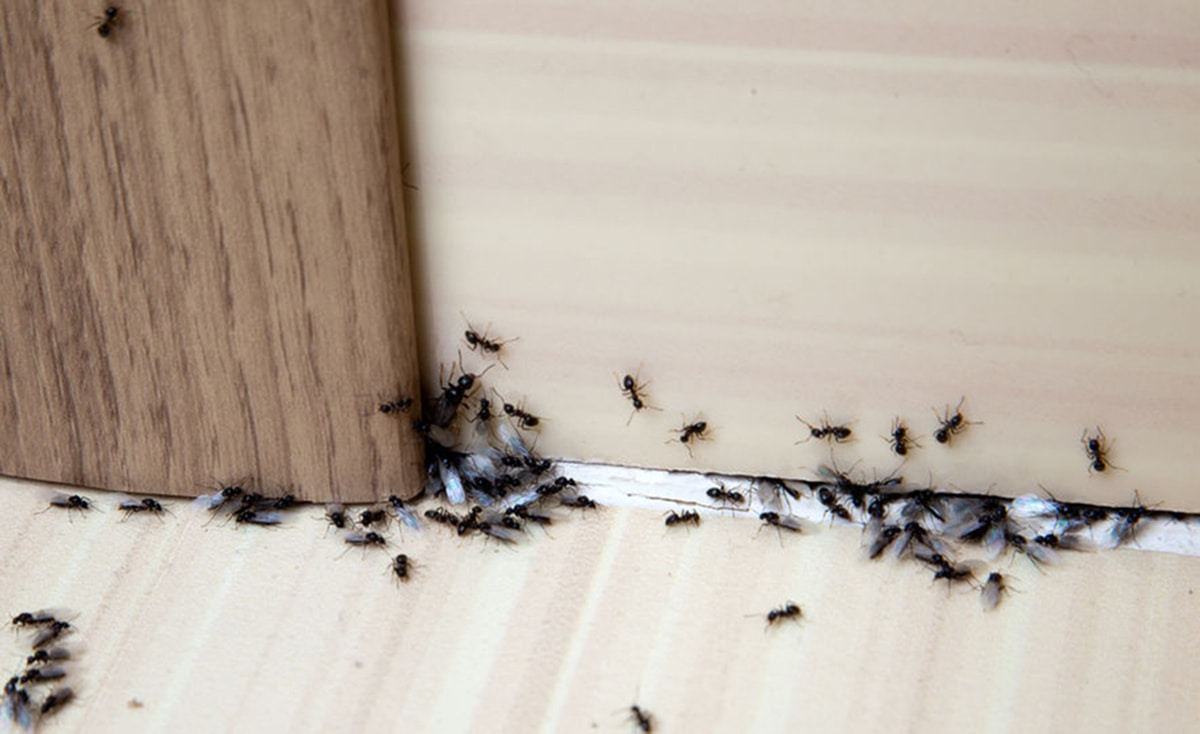 how-to-eliminate-ants-on-the-balcony-cover-b