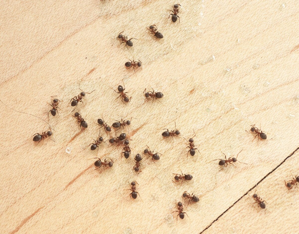 how-to-eliminate-ants-on-the-balcony-tips