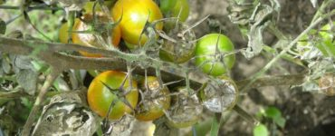 Peronospora malattia delle piante