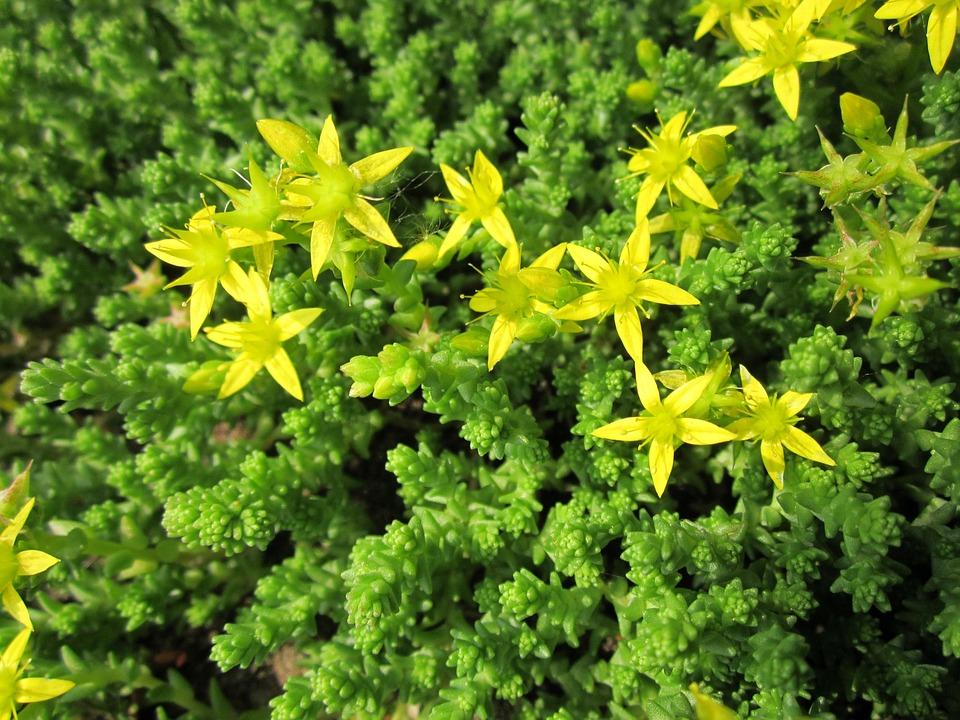 Sedum-Acre-Fussy Grass