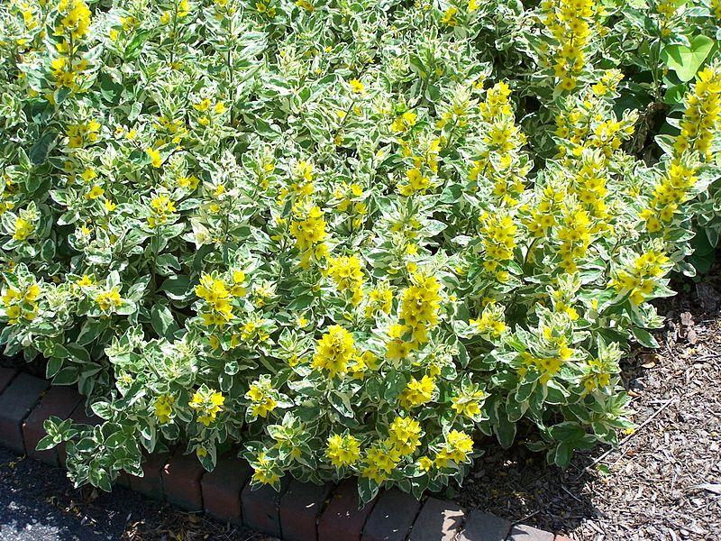 Lysimachia-cultivation