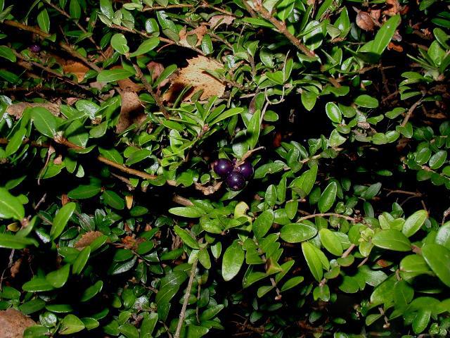 Lonicera-nitida-berries