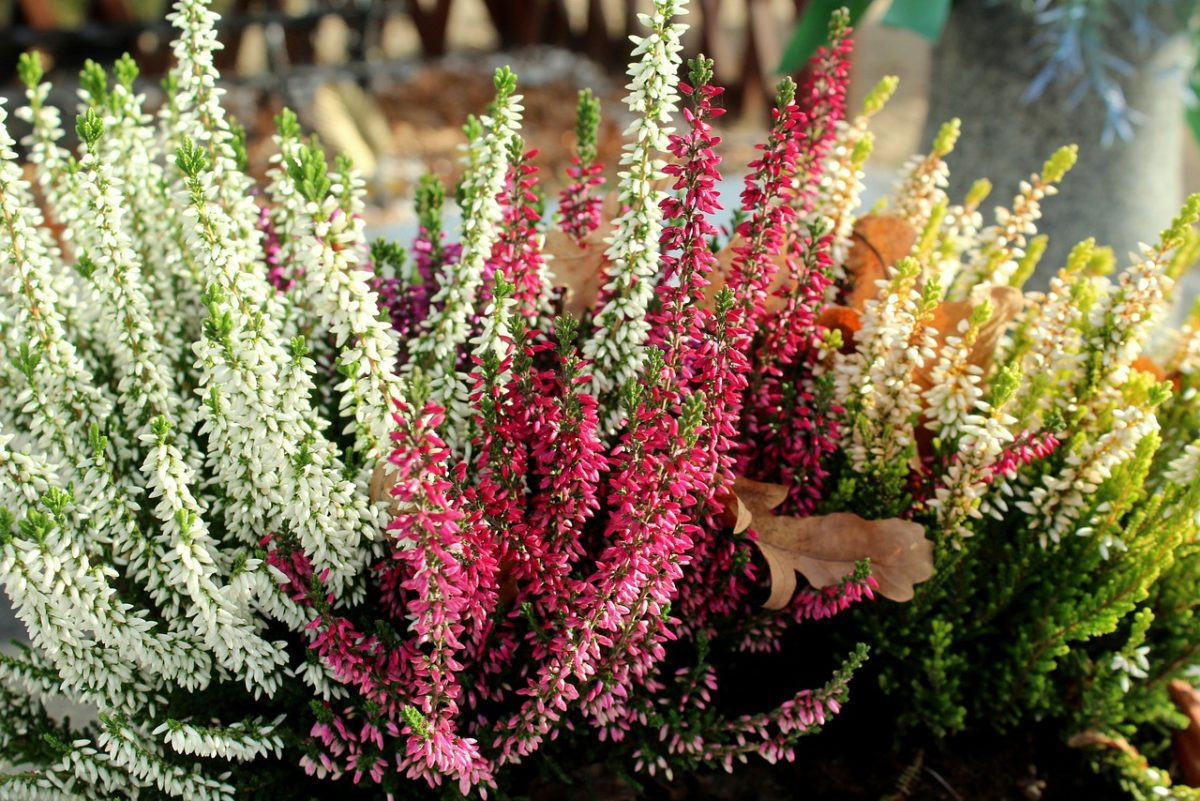 Heather-flowering