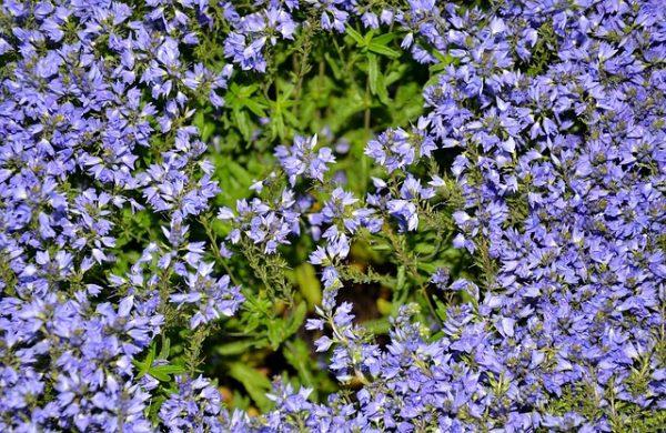 plant-aubretia-leaves