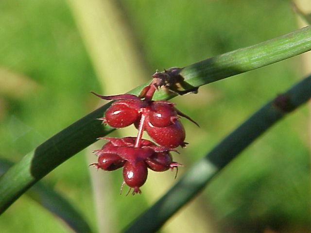 Leycesteria-formosa-fruits