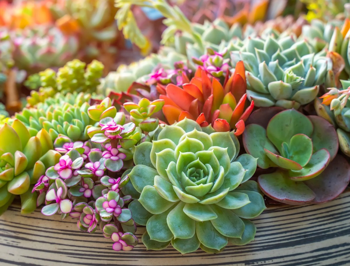 7 colorful succulents you absolutely must have 9
