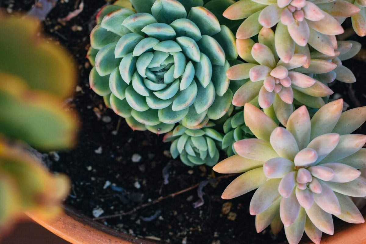 7 colorful succulents you must absolutely have 6