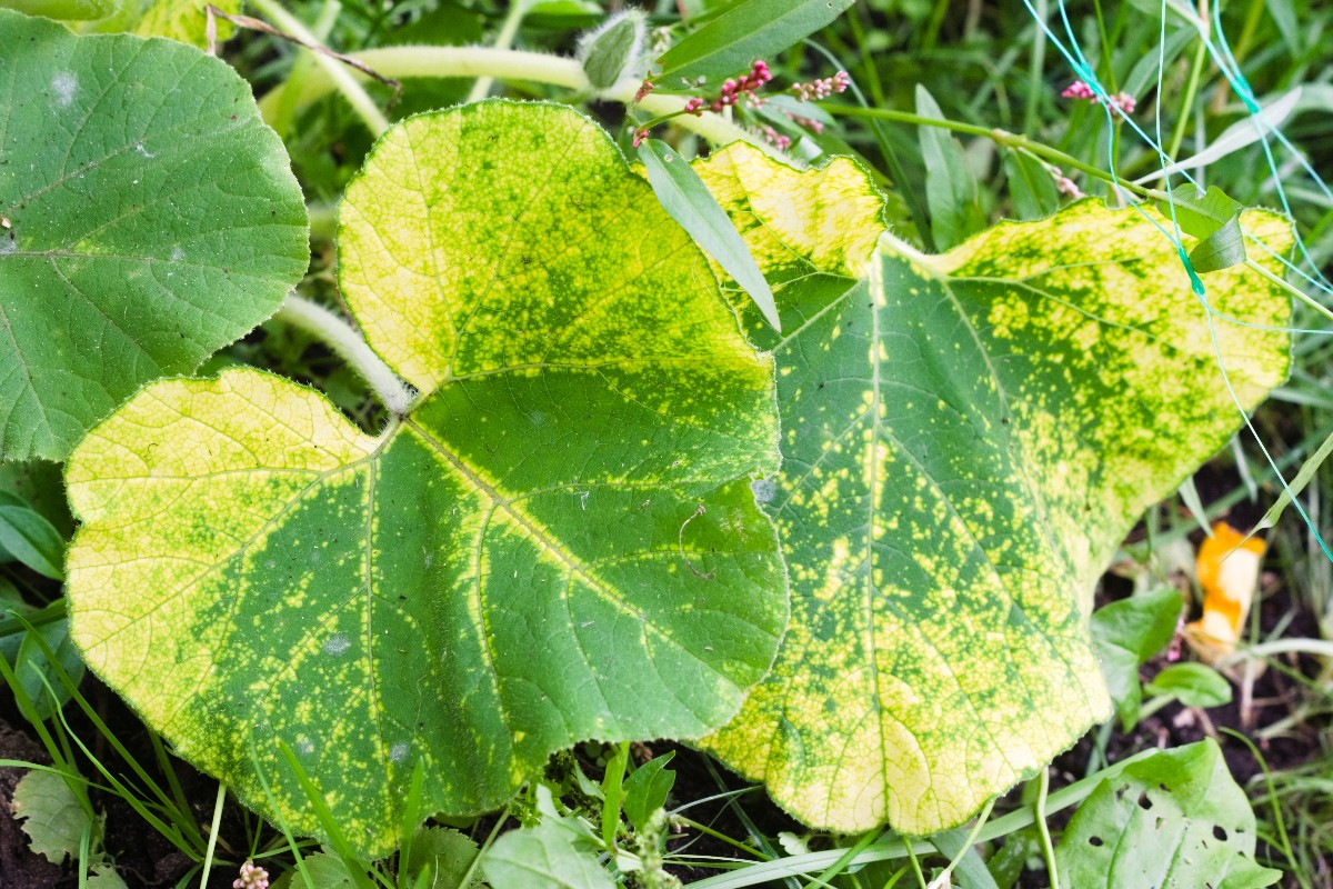 Recognizing plant diseases from leaves 3